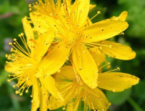 Agrimony, Flor de Bach del signo Sagitario