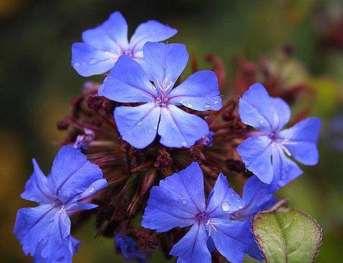 Flores de Bach para la Incertidumbre